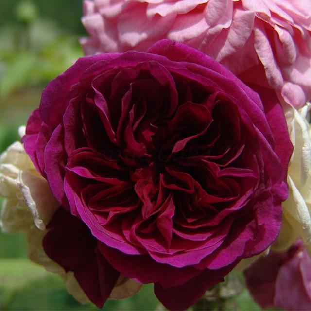 David Austin sugar rose